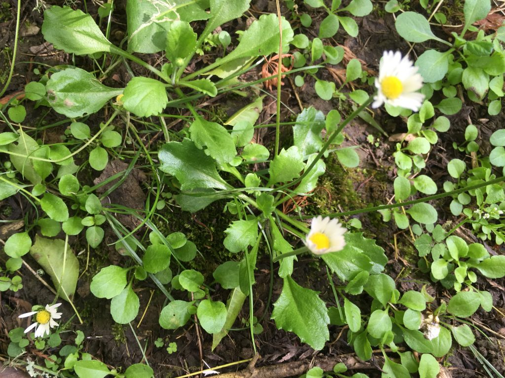 Lawn daisy bellis perennis there has not been much medical interest in this wee daisy although its use by herbalists has been recorded since the 16th century izmirmasajfo
